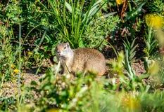 De Eekhoorn van de Grond van Uinta Royalty-vrije Stock Fotografie
