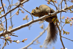 Eekhoorn in kersenbloesem Royalty-vrije Stock Afbeeldingen