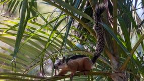 De eekhoorn van Playaconchal in Costa Rica Royalty-vrije Stock Afbeelding
