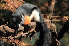 De eekhoorn van Prevost royalty-vrije stock afbeeldingen