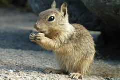 De Eekhoorn van Snacking Royalty-vrije Stock Afbeeldingen