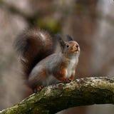 De eekhoorn, vulgaris Sciurus zit op een tak royalty-vrije stock afbeelding
