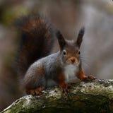 De eekhoorn, vulgaris Sciurus zit op een tak stock fotografie