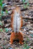 De eekhoorn wees en hief naar omhoog zijn staart af op royalty-vrije stock foto's