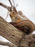 De eekhoorn in de winterhuid zit op een dikke tak van een boom royalty-vrije stock afbeelding