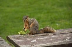 De eekhoorn wordt gevangen in de handeling van het eten van bloemen stock foto's
