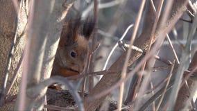 De eekhoorn wrijft poten, zittend onder dikke takken in een boom stock videobeelden