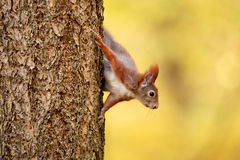 De eekhoorn ziet eruit Royalty-vrije Stock Fotografie