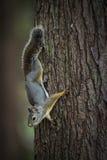 De eekhoorn ziet eruit Stock Foto's