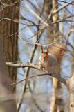 De eekhoorn zit in een boom Royalty-vrije Stock Afbeeldingen