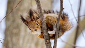 De eekhoorn zit op boom Knippend inbegrepen weg Stock Fotografie