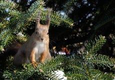 De eekhoorn zit op de pijnboomboom Royalty-vrije Stock Foto