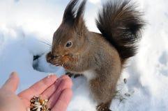 De eekhoorn zit op de sneeuw en kauwt noten Stock Foto
