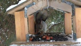 De eekhoorn zit op de voeder en het eten van zonnebloemzaden en hazelnoten stock videobeelden