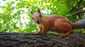 De eekhoorn zit op een boom en ziet eruit Stock Fotografie