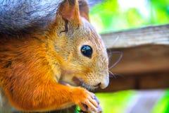 De eekhoorn zit op de voeder en het eten stock foto