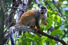 De eekhoornaap van Centraal-Amerika - Saimiri-oerstedii royalty-vrije stock afbeelding