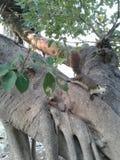 De eekhoorns beklimmen bomen Stock Fotografie
