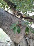 De eekhoorns beklimmen bomen Royalty-vrije Stock Foto