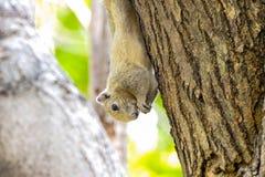 De eekhoorns eten voedsel Stock Foto