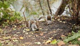 De eekhoorns eten zonnebloemzaden in het de herfstbos royalty-vrije stock afbeeldingen