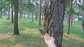 De eekhoorns krijgt koekjes, pinda, pistache stock video