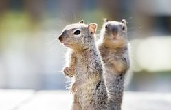 De Eekhoorns van de babyrots, Tucson Arizona stock foto