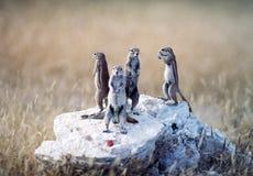 De eekhoorns van de grond Stock Fotografie