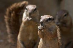 De eekhoorns van de kaap grounf Stock Foto's