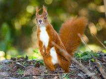 De eekhoorns van de nieuwsgierigheid Stock Afbeelding