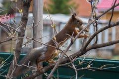 De eekhoornvoorraden omhoog met kegels stock fotografie