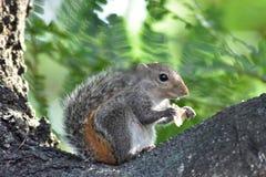 De eekhoornzitting op boomtak en eet voedsel stock foto