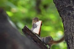 De eekhoornzitting op boomtak en eet voedsel royalty-vrije stock afbeeldingen