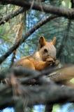 De eekhoornzitting op een tak en knaagt aan Royalty-vrije Stock Afbeelding