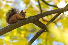De eekhoornzitting op de tak van een boom in het park of in het bos in de warme en zonnige de herfstdag stock foto's