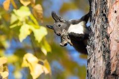 De eekhoornzitting van Kamchatka op een boomboomstam met een droge mondmaïsmeelpap Stock Fotografie