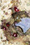 De een aantal pareltjesanemoon of Actinia equina Stock Afbeeldingen