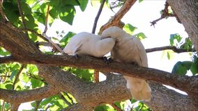 De een kaketoevogels van paartanimbar corella met het romantische ogenblik op de boom bij Brighton-le-Zand parkeren, Sydney, Aust stock videobeelden