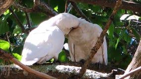 De een kaketoevogels van paartanimbar corella met het romantische ogenblik op de boom bij Brighton-le-Zand parkeren, Sydney, Aust stock footage