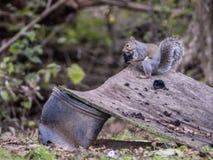 De een weinig grijze eekhoorn pelt een zwarte okkernoot van het de schil van ` s Royalty-vrije Stock Fotografie