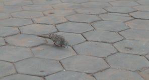 De een weinig grijze vogel zoekt iets op de stoep Hexagonale het bedekken plakken stock foto