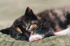 De een weinig mooie zwarte kat met witte en rode vlekken en blauwe ogen slaapt op een groene plaid stock fotografie