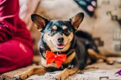 De een weinig zwarte hond, met een rode boog rond zijn hals, ligt op een grote bank stock foto