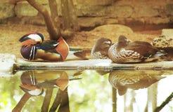 De eend die dichtbij water rusten met denkt na stock fotografie