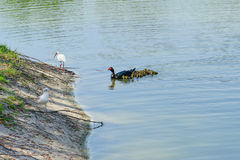De eend en de ibis van Florida Muscovy royalty-vrije stock fotografie