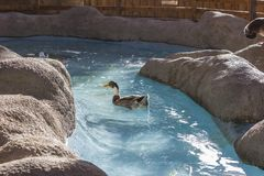 De eend is de gemeenschappelijke naam voor een groot aantal species in de watervogelsfamilie Royalty-vrije Stock Afbeelding