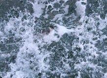 De eend in het overzees duikt stock foto's