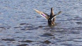 De eend klapt zijn vleugels stock video