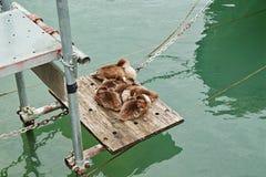 De eend met eendjes huddled samen bij pier Stock Foto's