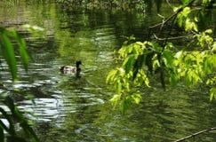 De eend op de rivier Stock Fotografie